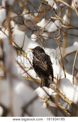 Starling on bush branches after spring snowfall