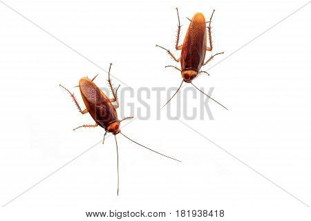 Cockroach isolated photo on a white background
