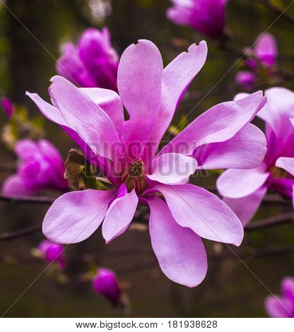decoration of few magnolia flowers. Magnolia. Magnolia flower spring branch. decoration of few magnolia flowers.