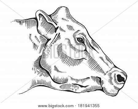 Cow head engraving vector illustration. Scratch board style imitation. Hand drawn image.