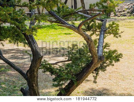 Closeup of small evergreen tree with sparse foliage in a brightly lit meadow on a sunny day