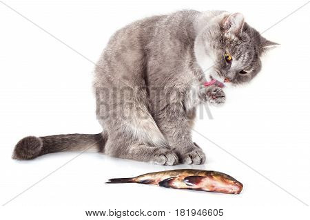 Cat and fish on a white background. The gray domestic cat washes a paw and language and looks at fish. Fish lies near a cat.