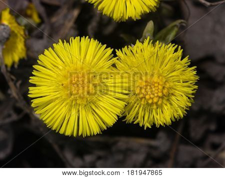 Flowers in early spring blooming coltsfoot tussilago farfara close-up selective focus shallow DOF.