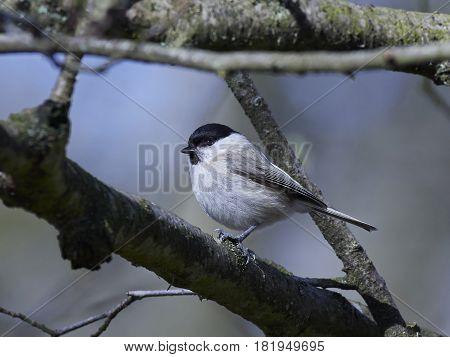 Marsh tit (Poecile palustris) resting on a branch in its habitat