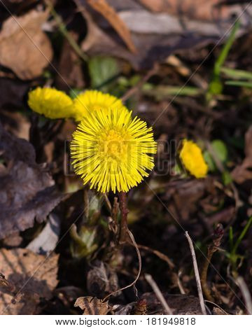 Flower in early spring blooming coltsfoot tussilago farfara macro with bokeh background selective focus shallow DOF.