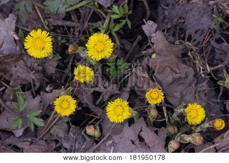 Flowers in early spring blooming coltsfoot tussilago farfara close-up with bokeh background selective focus shallow DOF.