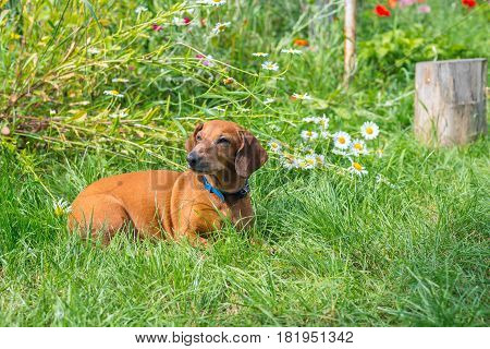 Brown Small Dog Lies On The Meadow Among Lush Green Grass