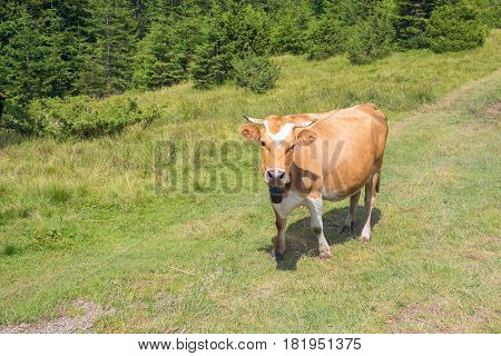 Brown Cow Carefully Looking At Camera While It Grazes On Mountain Slopes