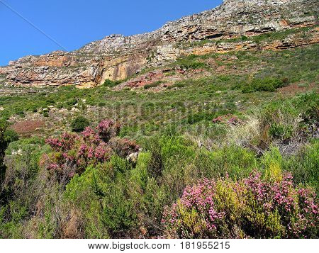 CAPE TOWN, SOUTH AFRICA, PART OF TABLE MOUNTAIN NATIONAL PARK, WITH INDIGENOUS VEGETATION IN THE FORE GROUND AND PART OF TABLE MOUNTAIN IN THE BACK GROUND
