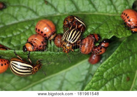 Invasion Of Colorado Potato Beetle