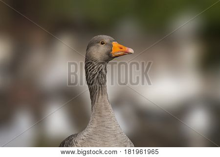 Greylag goose, Anser anser portrait close up