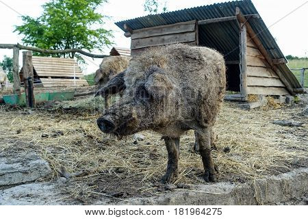 Wild pig at their cottages in rural farm yard.