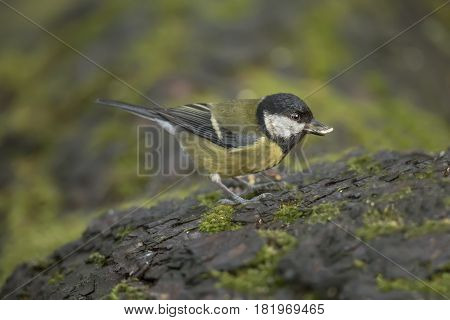 Great Tit, Juvenile, Perched On A Tree Trunk In A Forest
