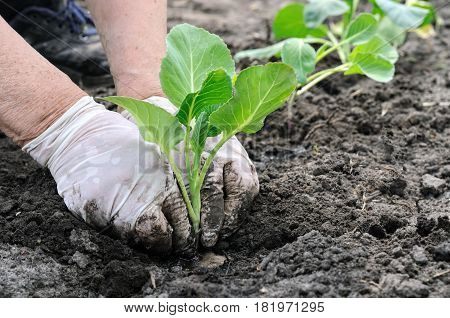senior woman's hands plants cabbage seedling in black soil