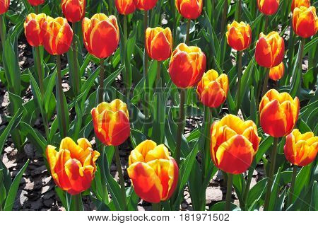 Flowers, Red Yellow Tulips and Green Leaves on a Flower Bed