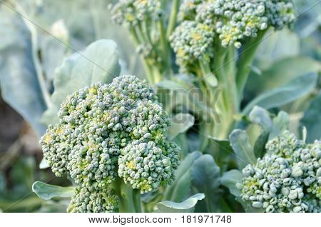 close-up of growing broccoli (Brassica oleracea or Brassica sylvestris) in the vegetable garden