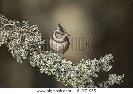 Crested Tit Perched On A Lichen Covered Branch