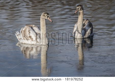 Mute Swan Cygnets Swimming Forwards On A Pond