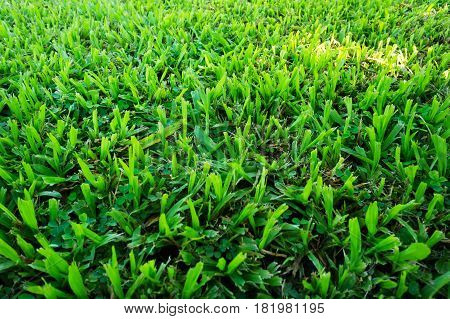 Green Malaysia grass. Photography on horizontal dimension and show texture from a field. It best for Background.