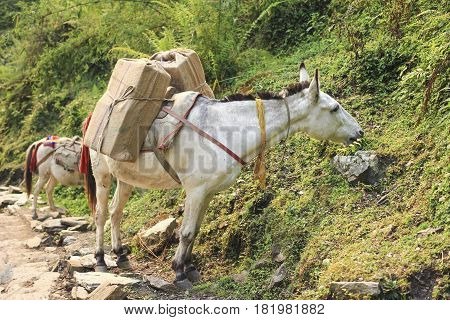 Horse caravan carry luggage and things on the Himalaya Annapurna trekking trail in Nepal