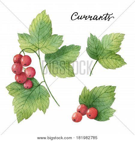 Hand drawn watercolor botanical illustration of Currants. Healing Healing Herbs for design of natural food, kitchen, market, menu.