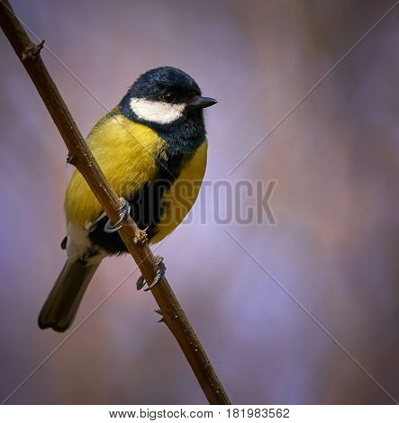 Great Tit Perched On A Twig