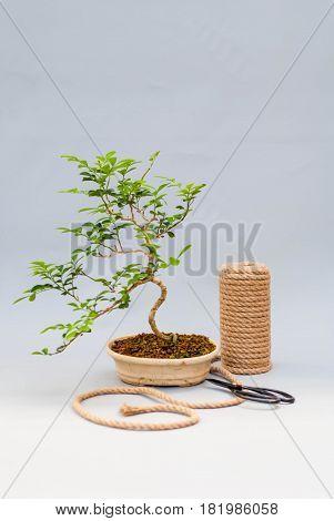 Bonsai in a ceramic pot on a light gray background. Bonsai in a clay pot and tools. Bonsai on a light gray background. Homemade plant in a pot on a gray background.