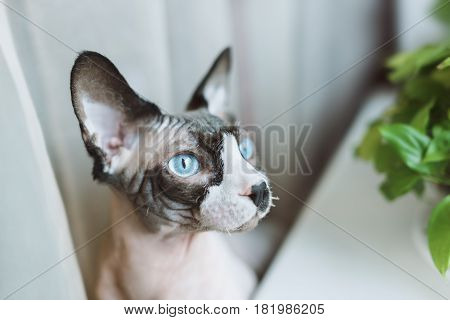 Canadian hairless sphinx cat sits near window sill with houseplants in front of a window and looks to the window
