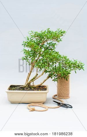 Bonsai in a ceramic pot on a light gray background. Bonsai in a clay pot and tools. Bonsai on a light gray background. Homemade plant in a pot on a gray background.