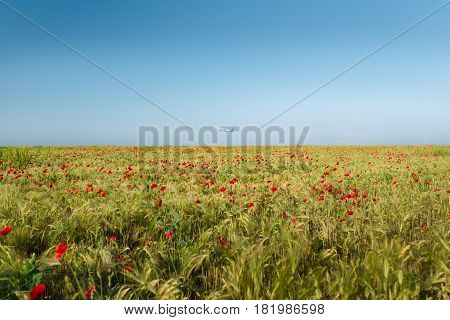 View at uncultivated field with poppy flowers of red color and wheat. Airplane flies up at the background. Summer landscape