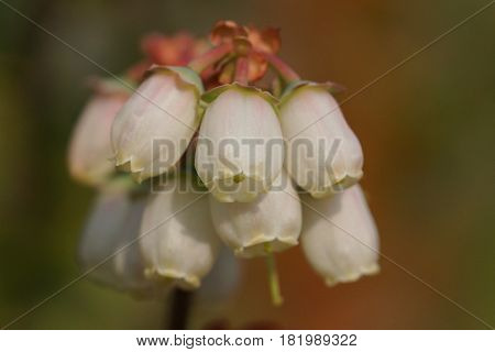 Blossom of blueberry, Vaccinium myrtillus, flowers of springtime