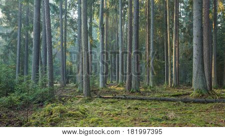 Sunbeam entering rich coniferous forest misty morning with old spruce and pine trees, Bialowieza Forest, Poland, Europe
