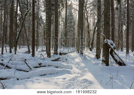 Snowfall after deciduousstand in morning with snow wrapped trees, Bialowieza Forest, Poland, Europe