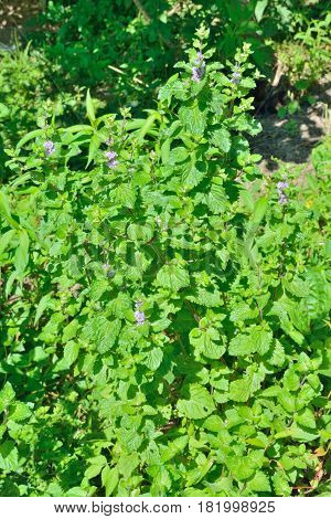 A close up of the medicinal an aromatic blooming plant peppermint.