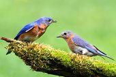 Pair of Eastern Bluebird (Sialia sialis) on a log with moss poster