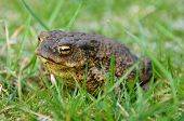little brown toad sitting in the green grass poster
