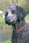 Black poodle head wet after a swim poster