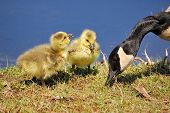 Canada goose goslings sitting in the grass. poster