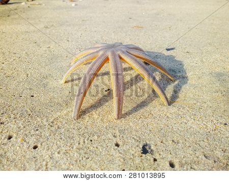 Estrela do mar na praia do Indai?, Caraguatatuba, SP poster