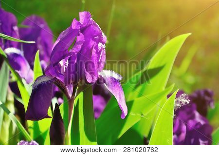 Spring background with blooming spring iris flower in the spring garden. Purple spring iris flower under sunlight. Focus at the iris flower