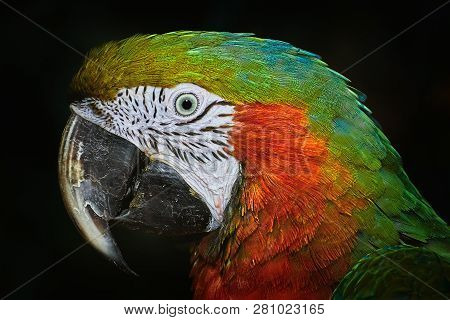 Portrait Of The Macaw Parrot Over The Dark Background