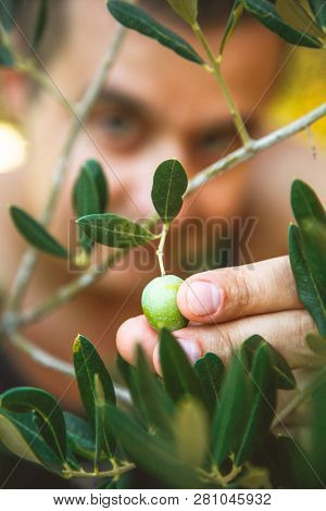 Farmer Is Harvesting And Picking Olives On Olive Farm. Gardener In Olive Garden Harvest. Olives Gard
