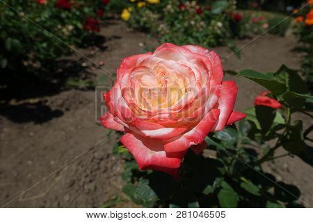 Bicolor red and white flower of garden rose poster