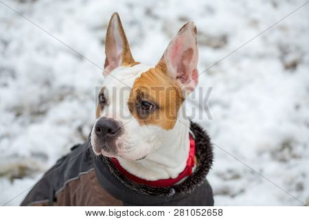 Beautiful Closeup Of A Young American Stafford Dog Outside In The Snow