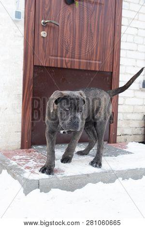 Portrait Of Cane Corso Puppy Six Month