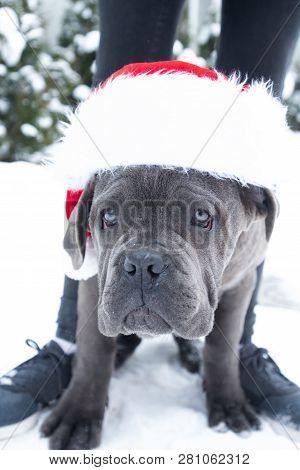 Closeup Portrait Of Cane Corso Puppy Six Month