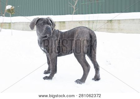 Cane Corso Dog Puppy Stand Winter Turn Back