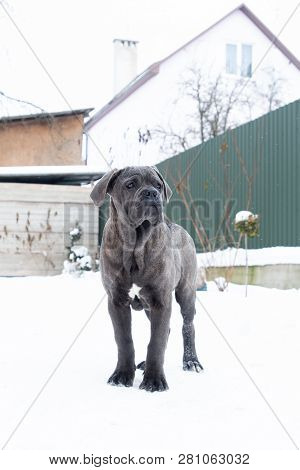 Standing Outdoor In Winter Dog Gray Cane Corso