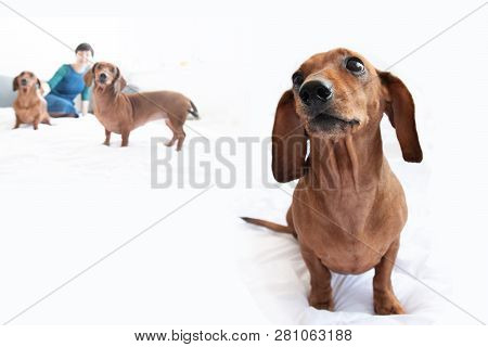 Dachshund Home Closeup Portrait Indoor Cute Love People