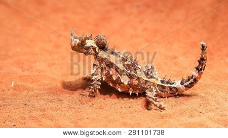 An Australian Thorny Dragon Lizard On A Sandy Ground Turns Its Head And Looks Around